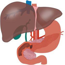 Wątroba, żołądek